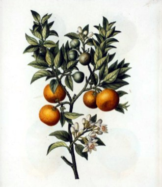 christmas illustration oranges