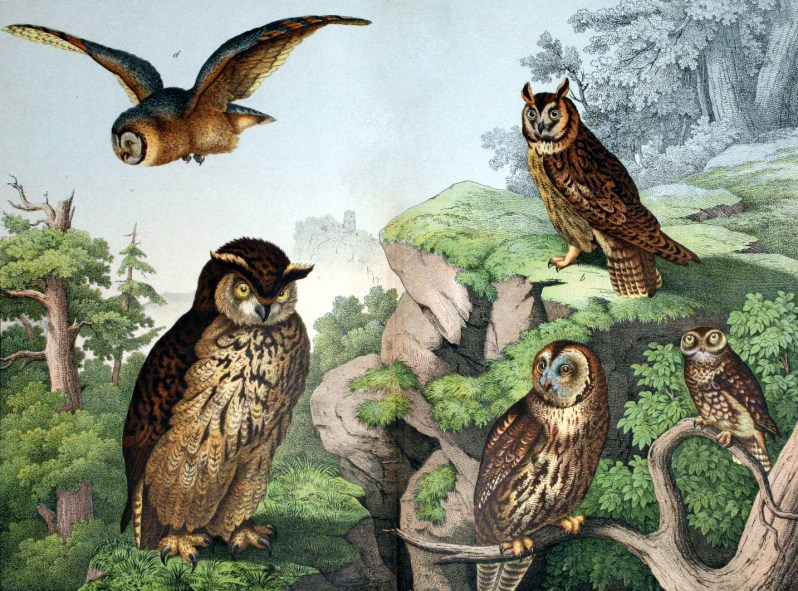 Free woodland owls illustration from 19th-century children's book on animals