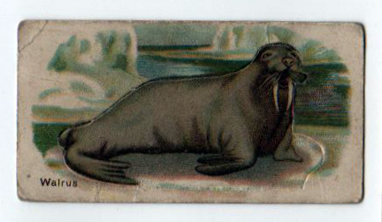 Free vintage walrus illustration from an antique cigarette trading card