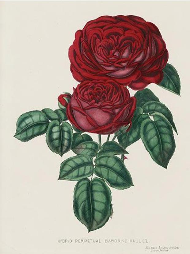 Public domain dark rose illustration.
