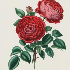 Vintage red rose illustration in the public domain