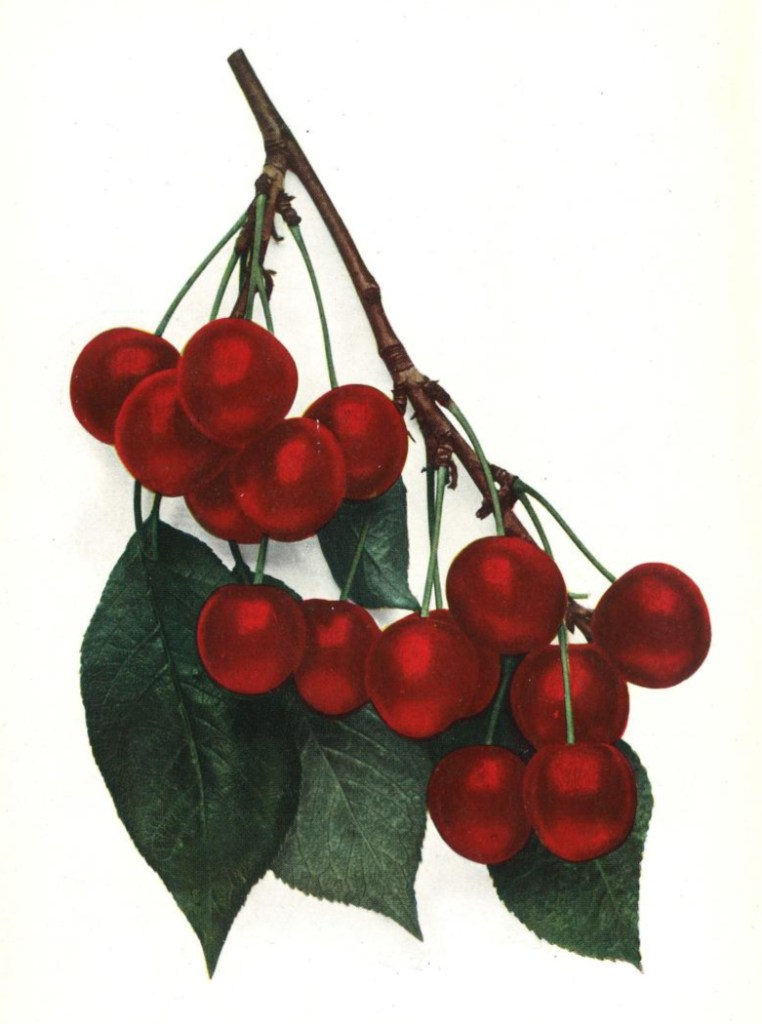 Public domain cherry illustration from 1916