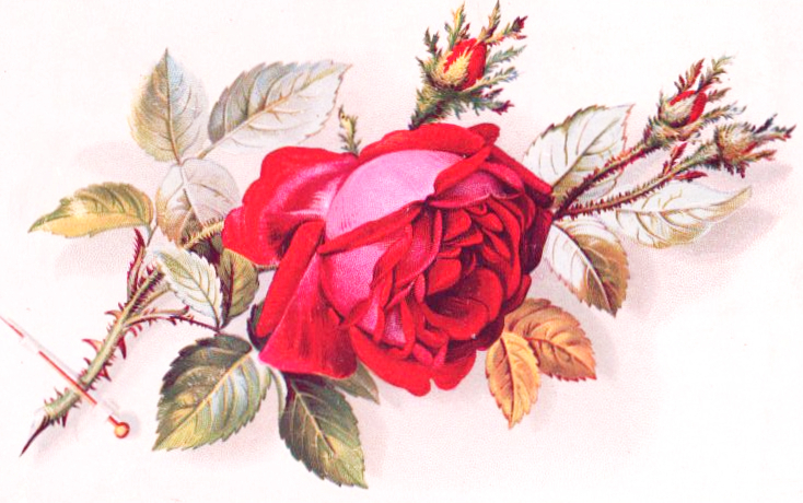 wild rose illustration for valentine's day in the public domain