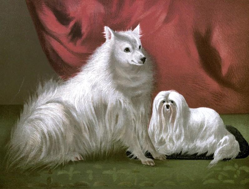 Free vintage Pomeranian illustration public domain.