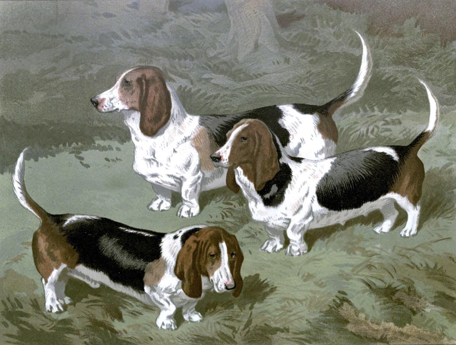 Free vintage basset hounds illustration public domain.