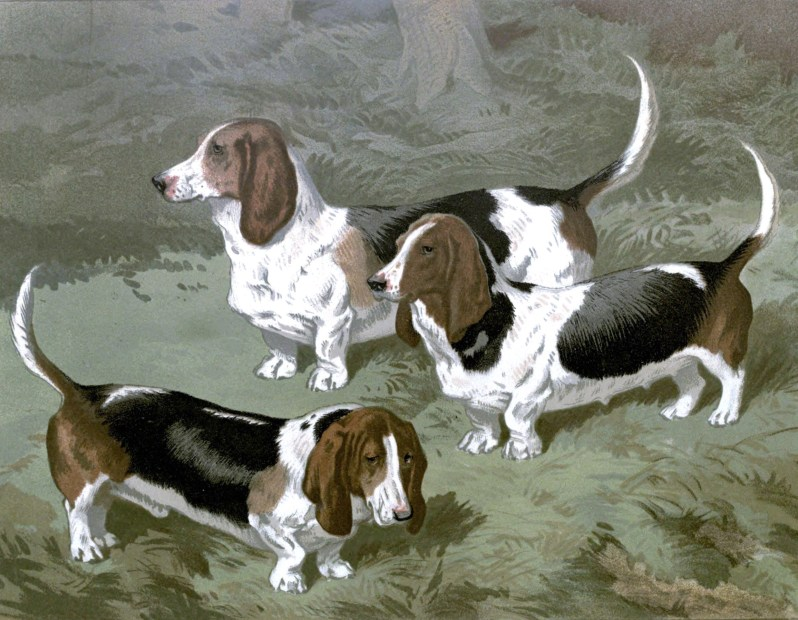 Free vintage basset hounds illustration public domain.