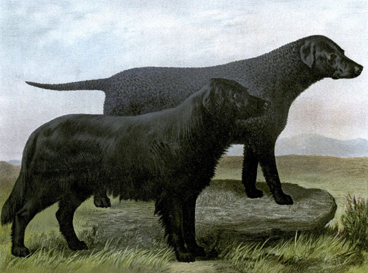 free vintage black retriever illustration public domain
