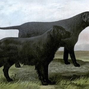 free vintage black retriever illustration public domain