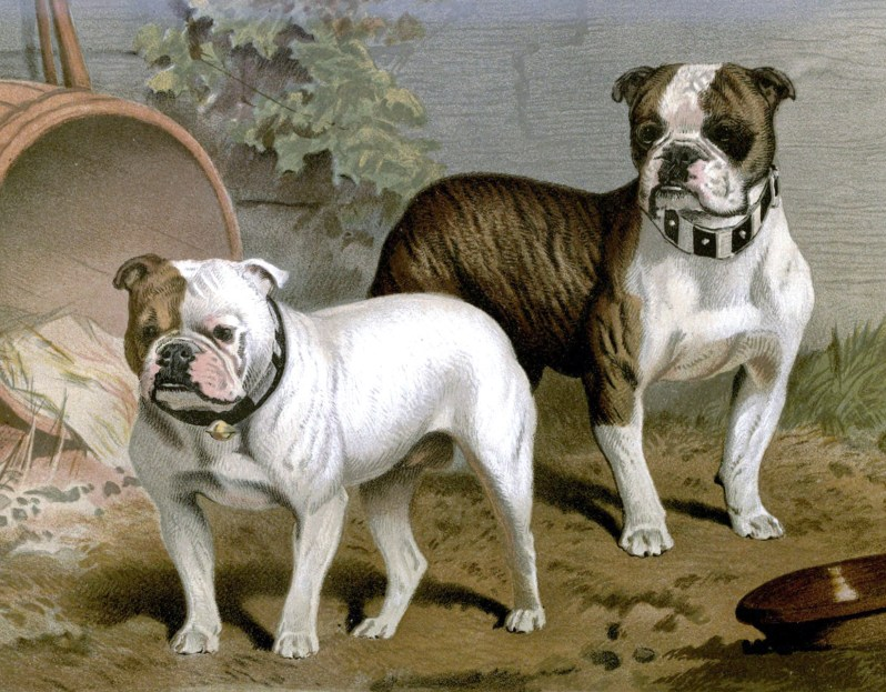 Free vintage bull dogs illustration public domain.