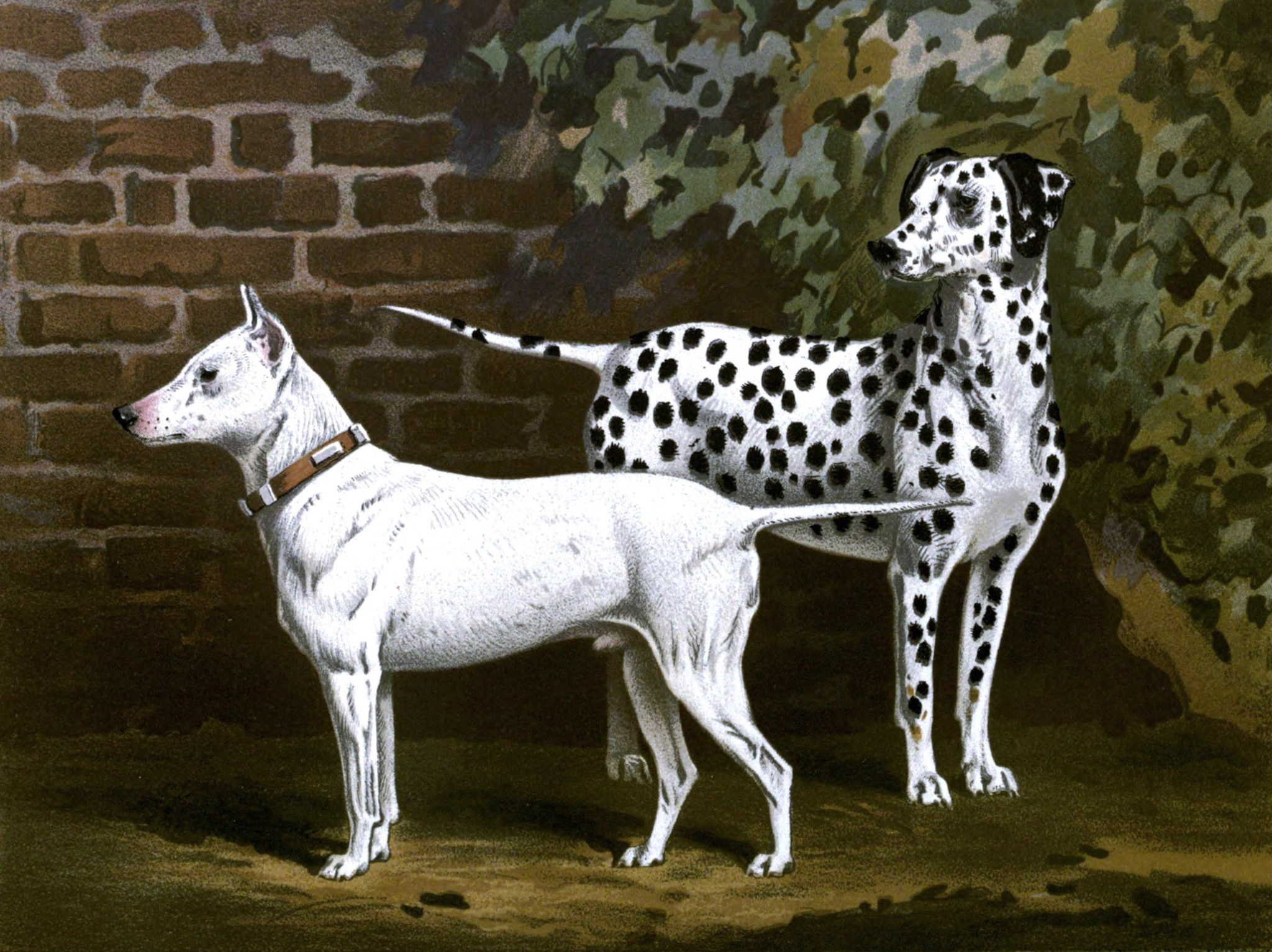 Free vintage bull terrier and dalmatian illustration public domain.