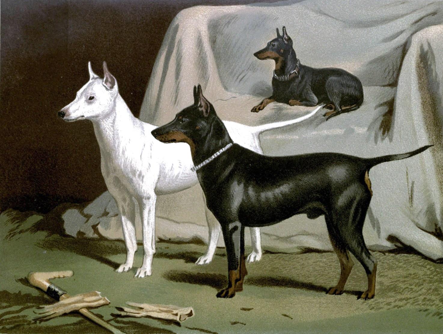 Free vintage english terriers illustration public domain.