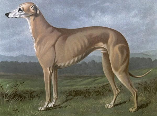 Free vintage greyhound dog illustration public domain.