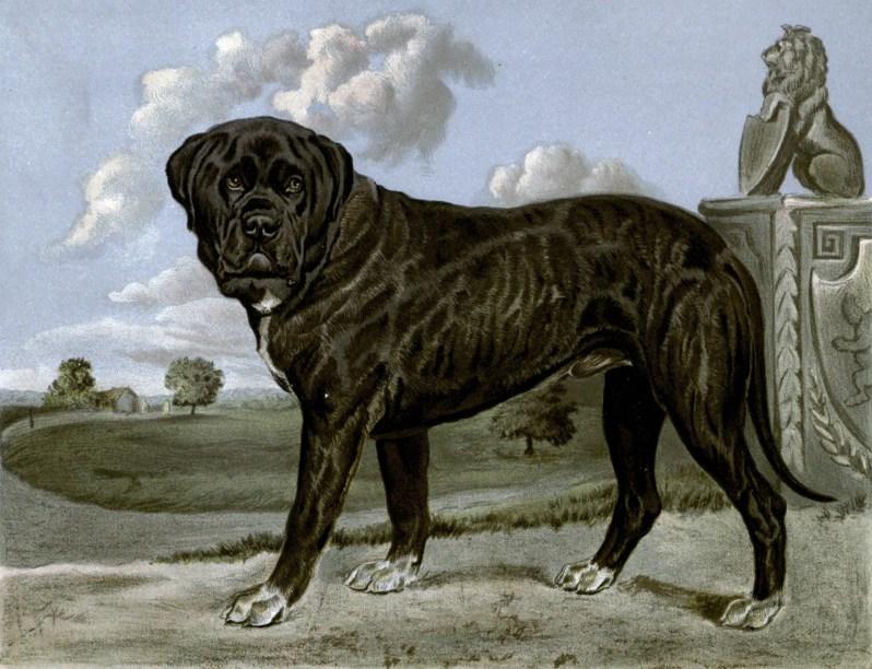 Free vintage mastiff illustration public domain.