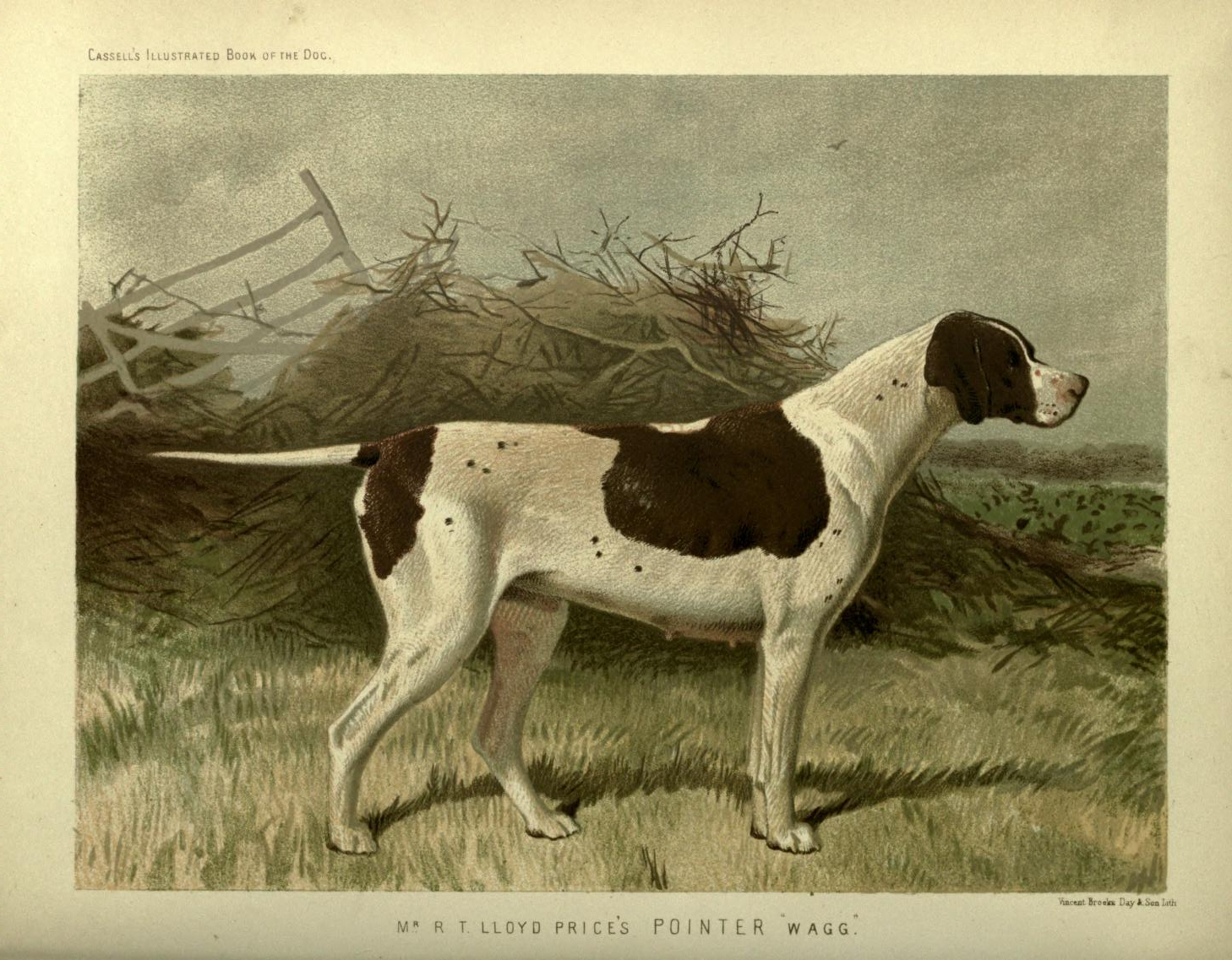 Free vintage pointer dog illustration public domain.