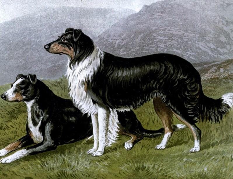 Free vintage sheep dogs illustration public domain.