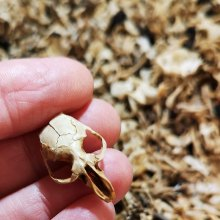 Tiny skull retrieved from owl pellet