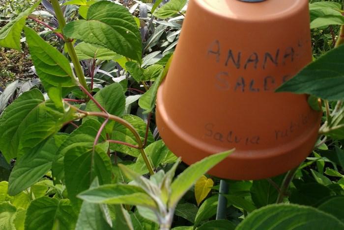 Ananas-Salbei schmeckt tatsächlich nach Ananas
