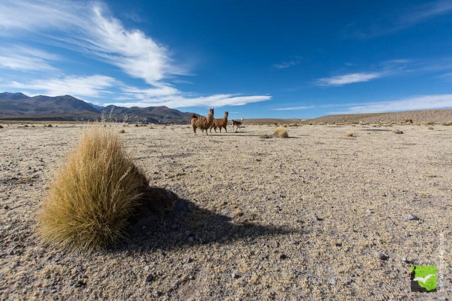 Lamapampa Altiplano Bolivia