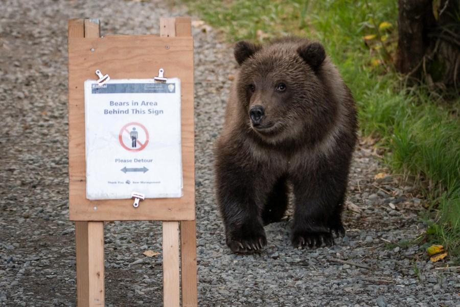 Braunbär neben Schild im Katmai Nationalpark