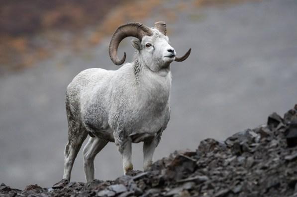 Gebirgsziege Denali Nationalpark