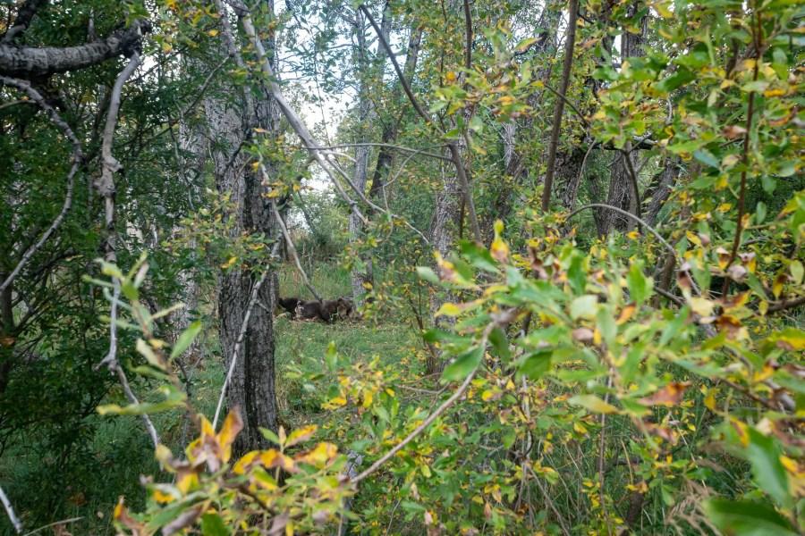 Grosser Braunbär im Wald