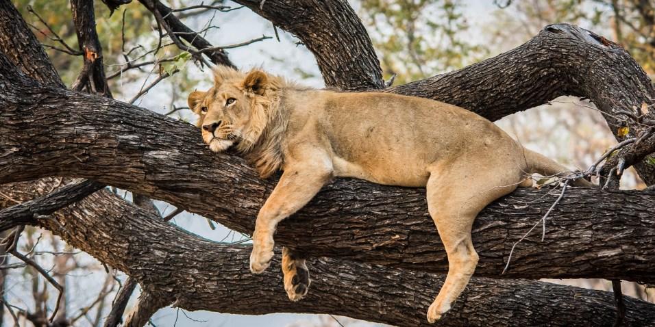 Botswana - Fauler Löwe
