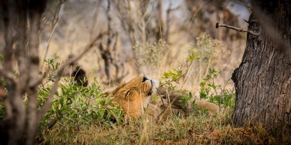 Botswana - Liegender Löwe