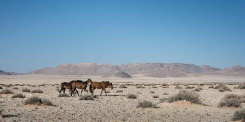 Wildpferde von Namibia in der Wüste bei Swakopmund