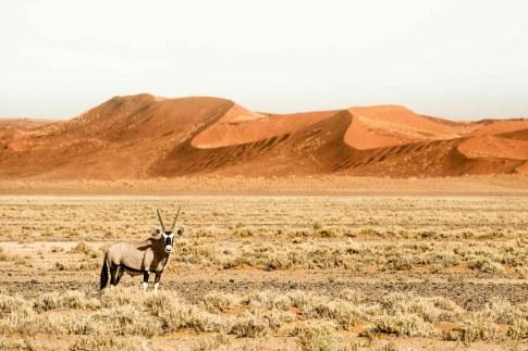 Oryx-Antilope vor roter Sanddüne der Namib