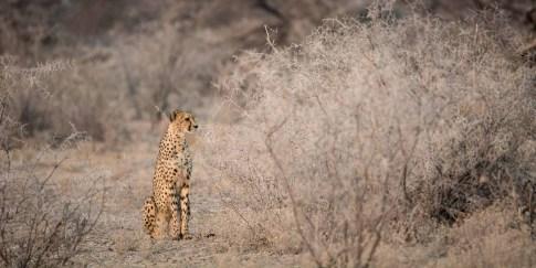 Gepard im Etosha Nationalpark Namibia Afrika
