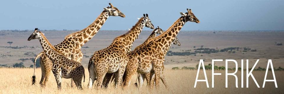 Giraffen in der Masai Mara Kenia - Afrika