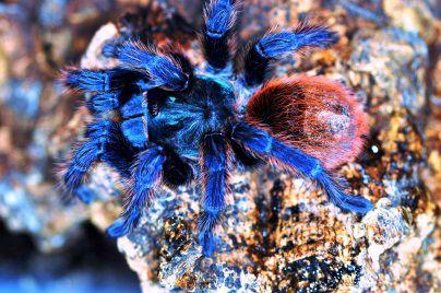Die auch Cyanblaue Vogelspinne genannte Chromatopelma cyaneopubescens ist die einzige Art der Gattung Chromatopelma. Sie lebt im Norden Venezuelas. - Foto: Araneus