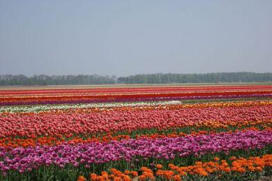 Flevoland Blüte - Foto: Wesley Schipper