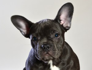 How Much Are Blue French Bulldog Puppies