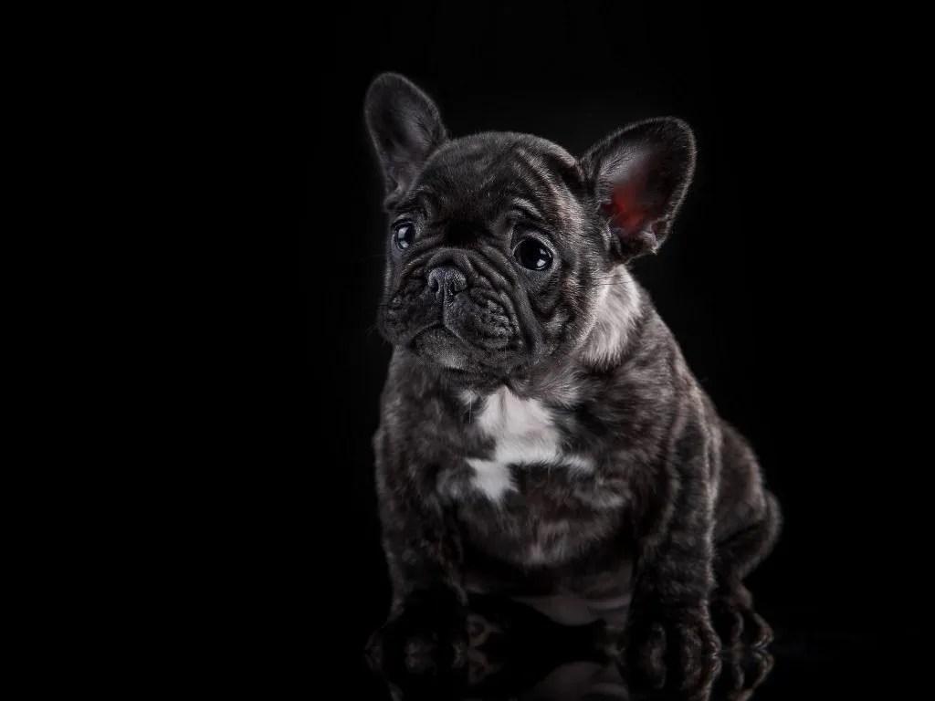 French Bulldog Akc Color Codes