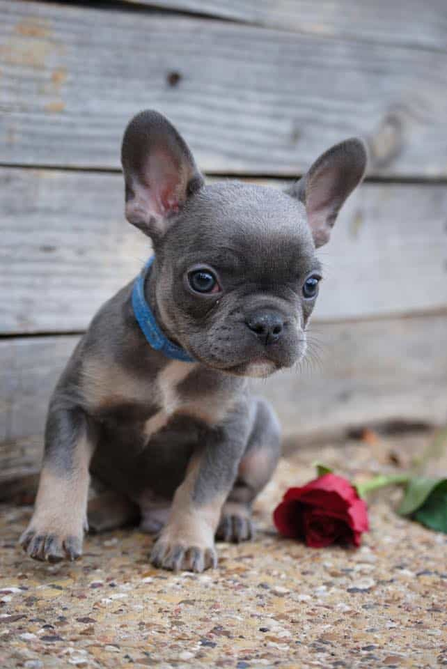 French Bulldog Puppies - Buy French Bulldog Puppies                                         Ad                                                                                                                 Viewing ads is privacy protected by DuckDuckGo. Ad clicks are managed by Microsoft's ad network (more info).