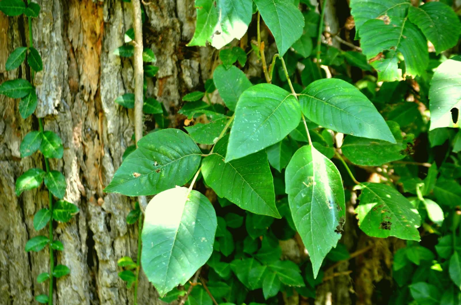 Le Poison Ivy en Georgie Atlanta  Traitement du Poison Ivy