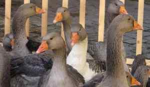 Sarlat Goose Fair