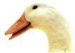 duck08_75