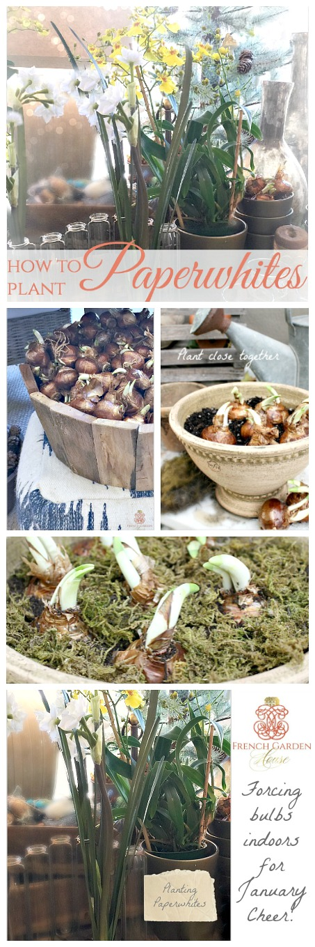 Paperwhite Magic How To Plant Bulbs For Forcing Indoors