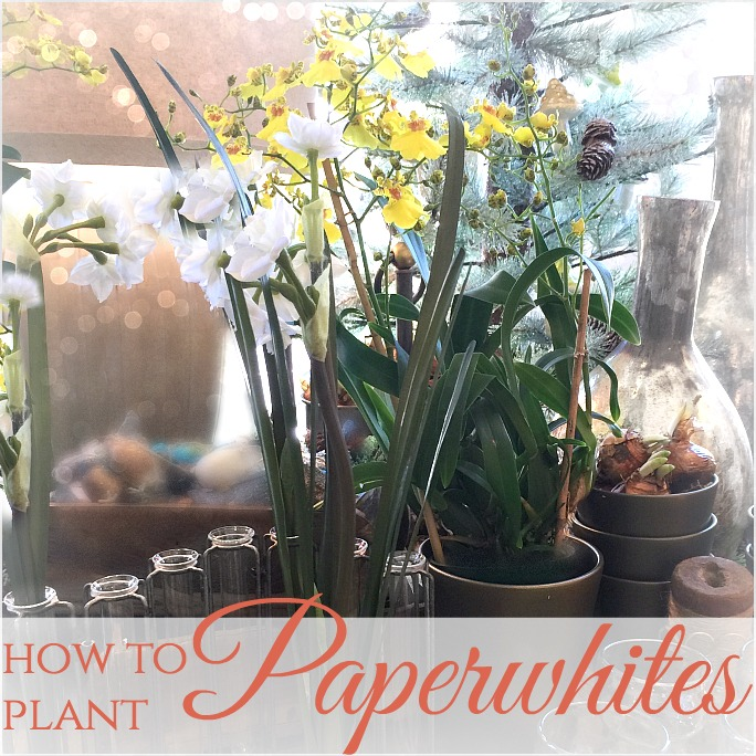 Paperwhite Magic | Plant for a Beautiful January NOW