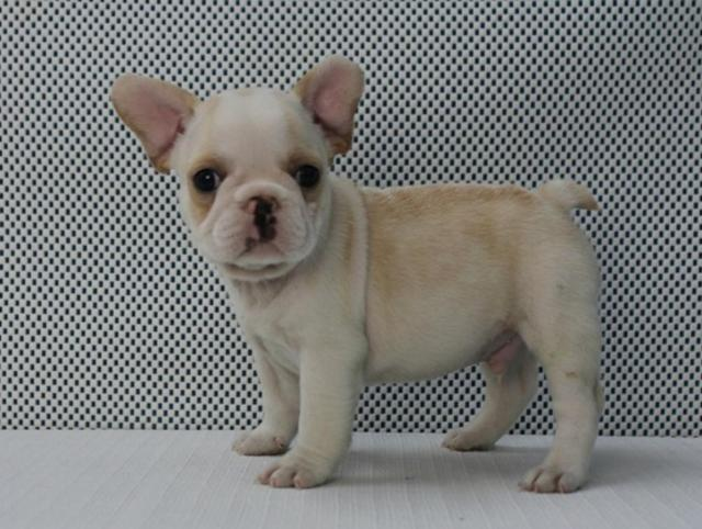 akc french bulldog 12 week old male cody - frenchieforsale