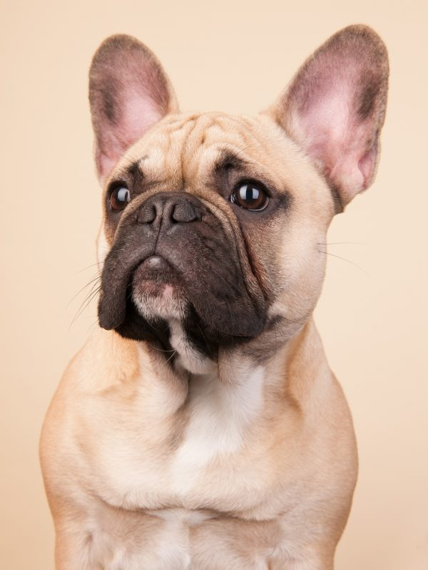 French bulldog portrait in studio on blue background