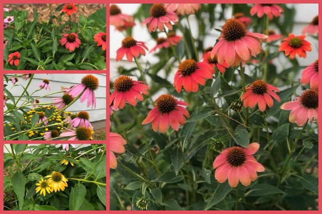 Coneflowers at Frenchie Stamps.