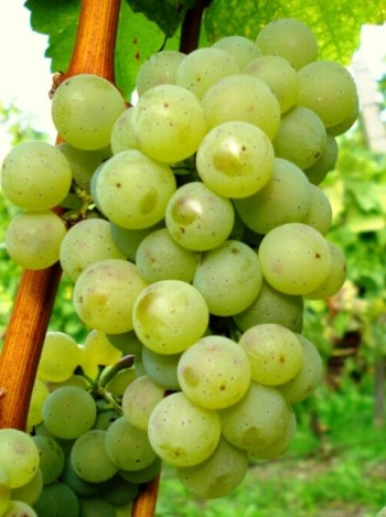 Silvaner Grape © Däisd