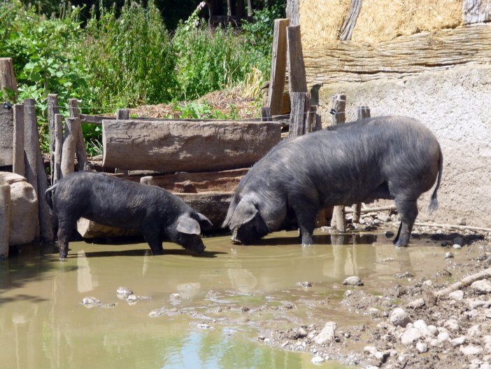 Pigs at the Ecomusée d'Alsace © French Moments