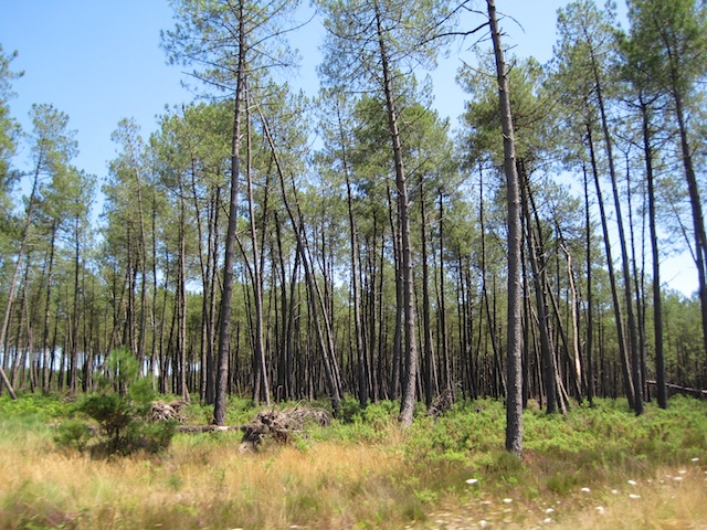 Forest of the Landes © Arnaud 25 - wikipedia commons