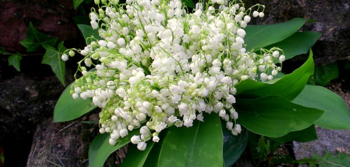 May Day in France Lily of the Valley muguet