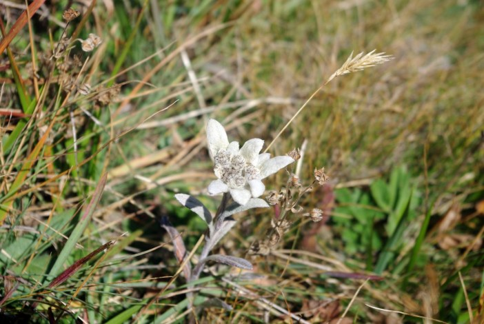 Edelweiss spotted at the Col de la Vanoise © French Moments