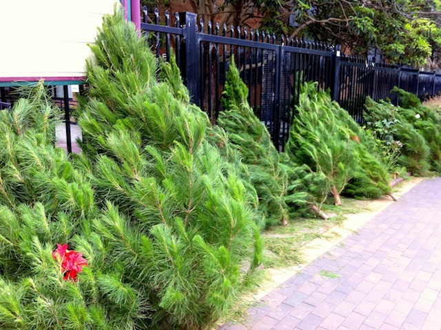 Christmas Trees For Sale In Sydney, Australia © French Moments